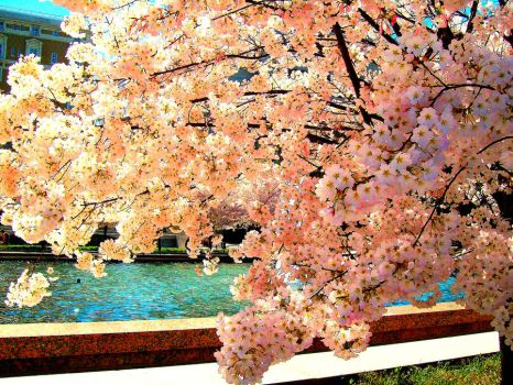 Cherry Blossoms by flautist93