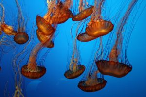 Monterey Jellies III by dhunley