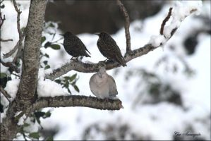 2 starlings and collared dove by GeaAusten