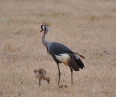 king crane and chick by jynto