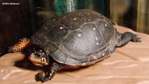 Spotted Turtle 2 2010 by seto2112