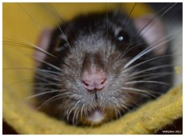 Rat Nose by wolfysilver