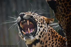 Sri-Lanka Leopard: Being Angry by amrodel