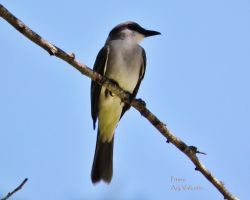 Gray kingbird iii by LoliCanoli