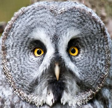 Great Grey Owl by PictureByPali