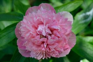 PINK PEONY by major-holdups