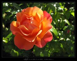 A Rose Is a Rose Is a Rose by Crooty