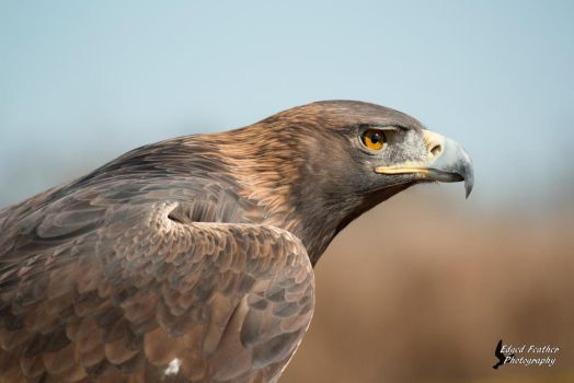 Golden Eagle 6 by EdgedFeather