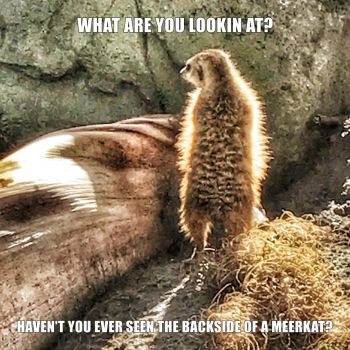 Backside of a Meerkat by creativemikey