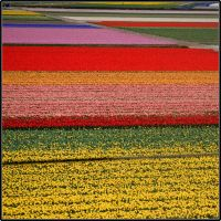holland: flower field 1 by i-shadow