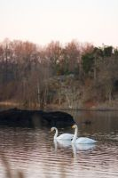 Swans at sunrise by perost