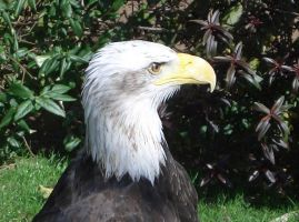 Bald Eagle by thepapercraftcouple