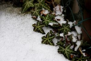 Snow and Ivy by Azenor