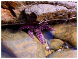 Purple Starfish by SLJones-photo