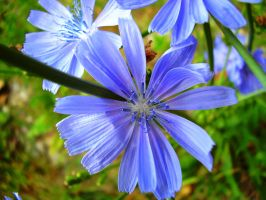 Chicory Blue by Pentacle5