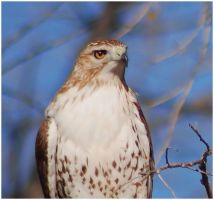 Young redtail by SuicideBySafetyPin