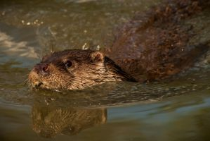 Otter by NicoFroehberg