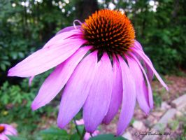 Coneflower by jim88bro
