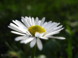 A Dash of White and Yellow by Roshila