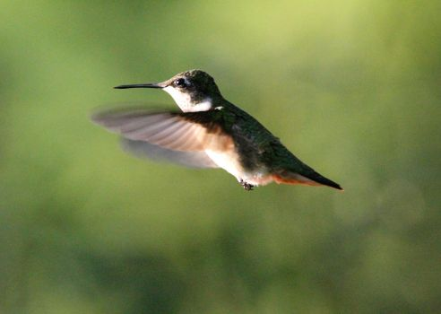 I know, another flipping hummingbird pic! by Part-Time-Cowboy