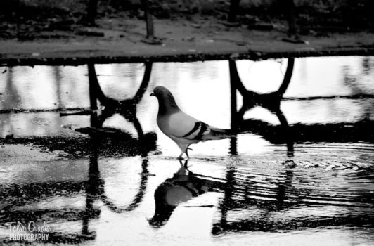 Pigeon in a Puddle by taliaovadia