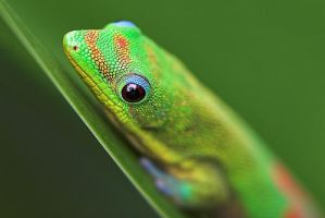 Gecko From The Amazon by ilovelost456