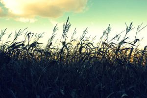 Corn at Dusk by CaydenJean