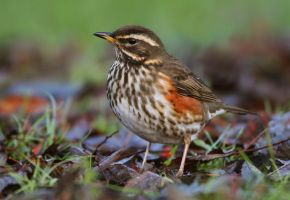 Among the dead leaves - Redwing by Jamie-MacArthur