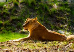 female lion in the sun by mortenthoms