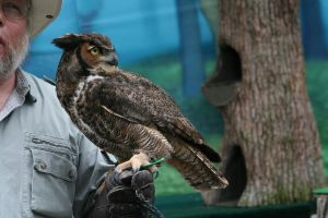 Great Horned Owl - 1 by Seductive-Stock