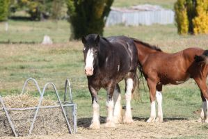 Black Sabino Clydesdale Mare by How-You-Remind-Me