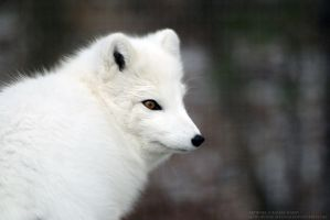 Arctic Fox 1 by 8TwilightAngel8