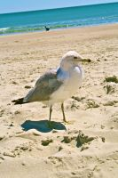 Majestic Seagull by captainkiddway