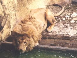 Lion drinking by Ngatuny