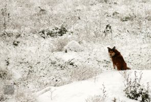 Snow Howl by ntora