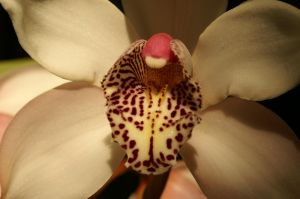 Orchid closeup by SilverBear-Photos