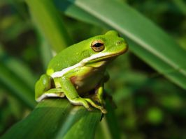 Another Green Tree Frog by BuzzyG
