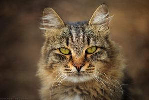 the look of a wild cat by bagirushka