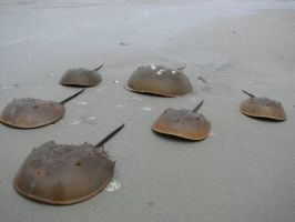 Attack of the Horseshoe crabs by J-Austin