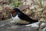 Holiday 2014 - Swallow by cfowler7