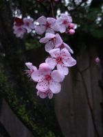 Plum Blossoms by Erinwolf1997