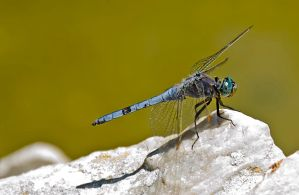 Dragonfly by agelisgeo