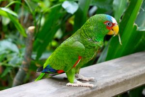 Red Lored Amazon Parrot by AngelaRizza