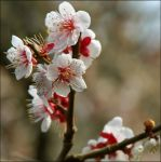 Ume or Plum Blossom 4 by kucingitem