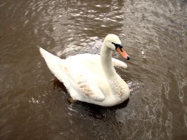 swan by smevstock