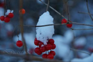 snowberries by Diastola