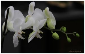 white flowers by Claudia008
