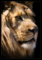 Lion: Majestic by Flame-of-the-Phoenix