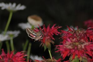 Hummingbird Moth 4 by Tyyourshoes