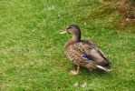 Duck by LucieG-Stock